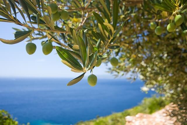 Geschichte der Oliven