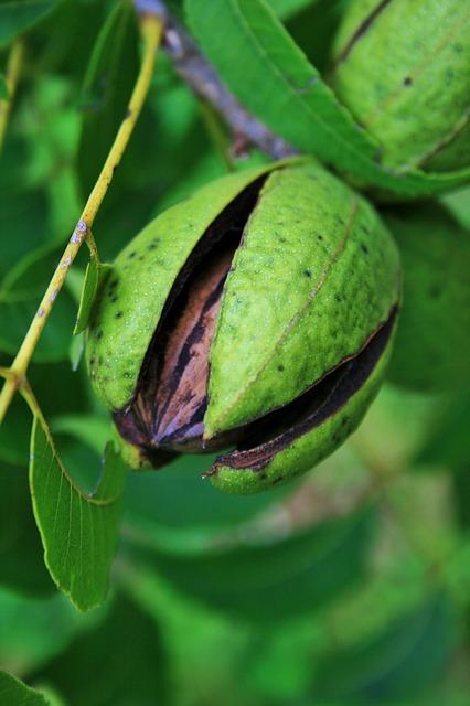 Pekannuss Frucht